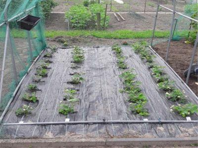 Beispiel Anti-Unkrautfolie, 4er Reihe Erdbeerpflanzen
