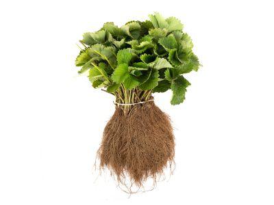 Naschpaket L Gemischt (Grünpflanzen) inkl. Dünger