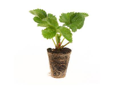 Elsanta Erdbeeren - 10 Pflanzen (Gigaplugs)