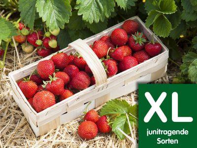 Naschpaket XL Junitragend (Topfpflanzen) inkl. Dünger
