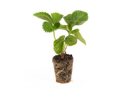 Senga Sengana Erdbeeren - 10 Pflanzen (Powerplug)