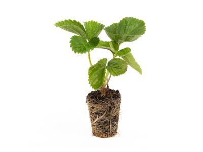 Sonsation Erdbeerpflanzen - 10 Pflanzen (Powerplug)