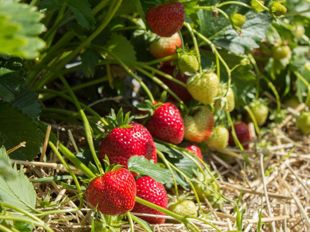 Erdbeerpflanzen in Stroh einbetten, um Krankheiten vorzubeugen.