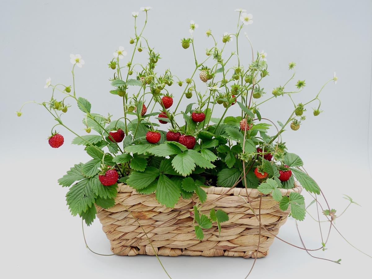 Mit diesen Erdbeerpflanzen ernten Sie schon bald Ihre eigenen Fontaine Erdbeeren