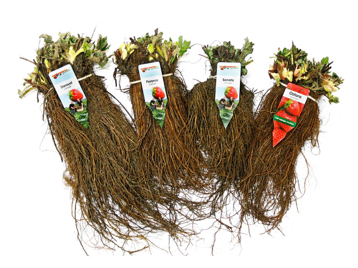 Im Naschpaket sind verschiedene Erdbeerpflanzen inklusive Dünger enthalten.