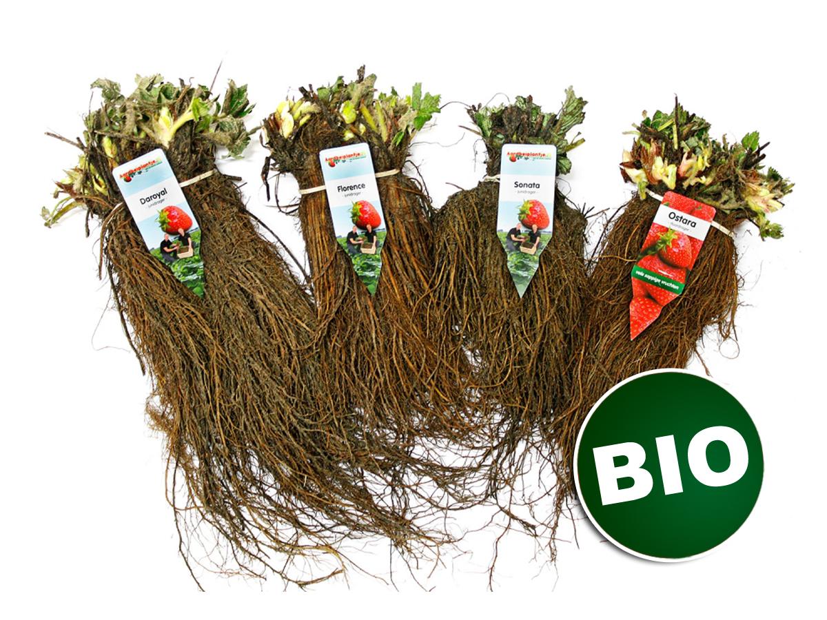 Hochwertige Bio-Erdbeerpflanzen kaufen Sie bei Erdbeerprofi.de
