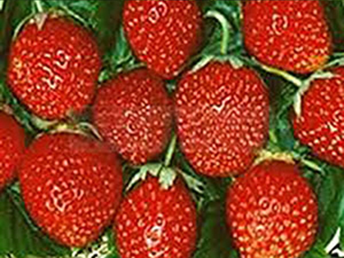 Mit diesen Erdbeerpflanzen ernten Sie schon bald Ihre eigenen Korona Erdbeeren