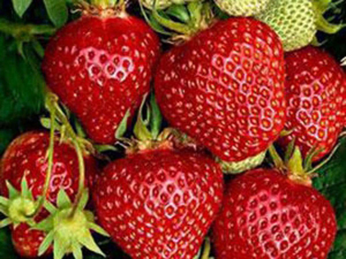 Mit diesen Erdbeerpflanzen ernten Sie schon bald Ihre eigenen Ostara Erdbeeren