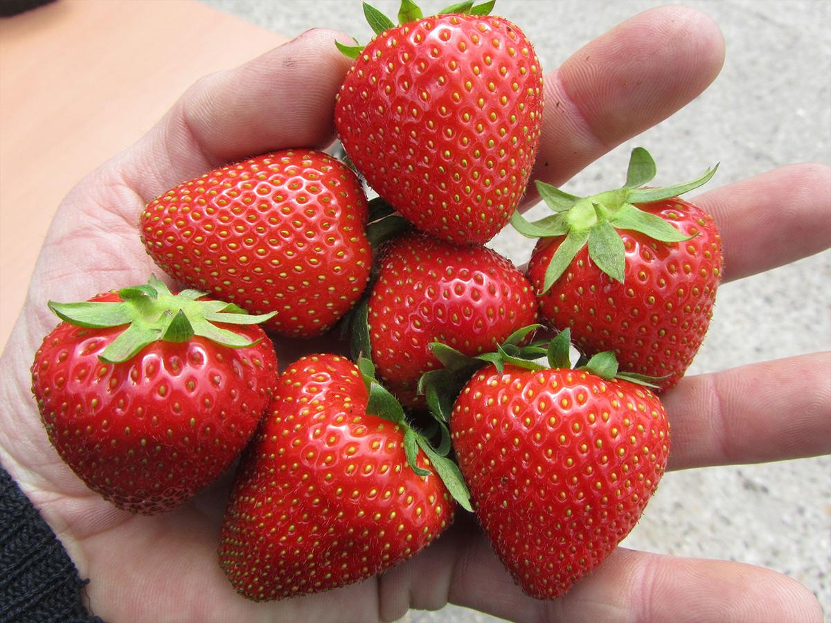 Erdbeeren enthalten viele Vitamine | Erdbeerprofi.de