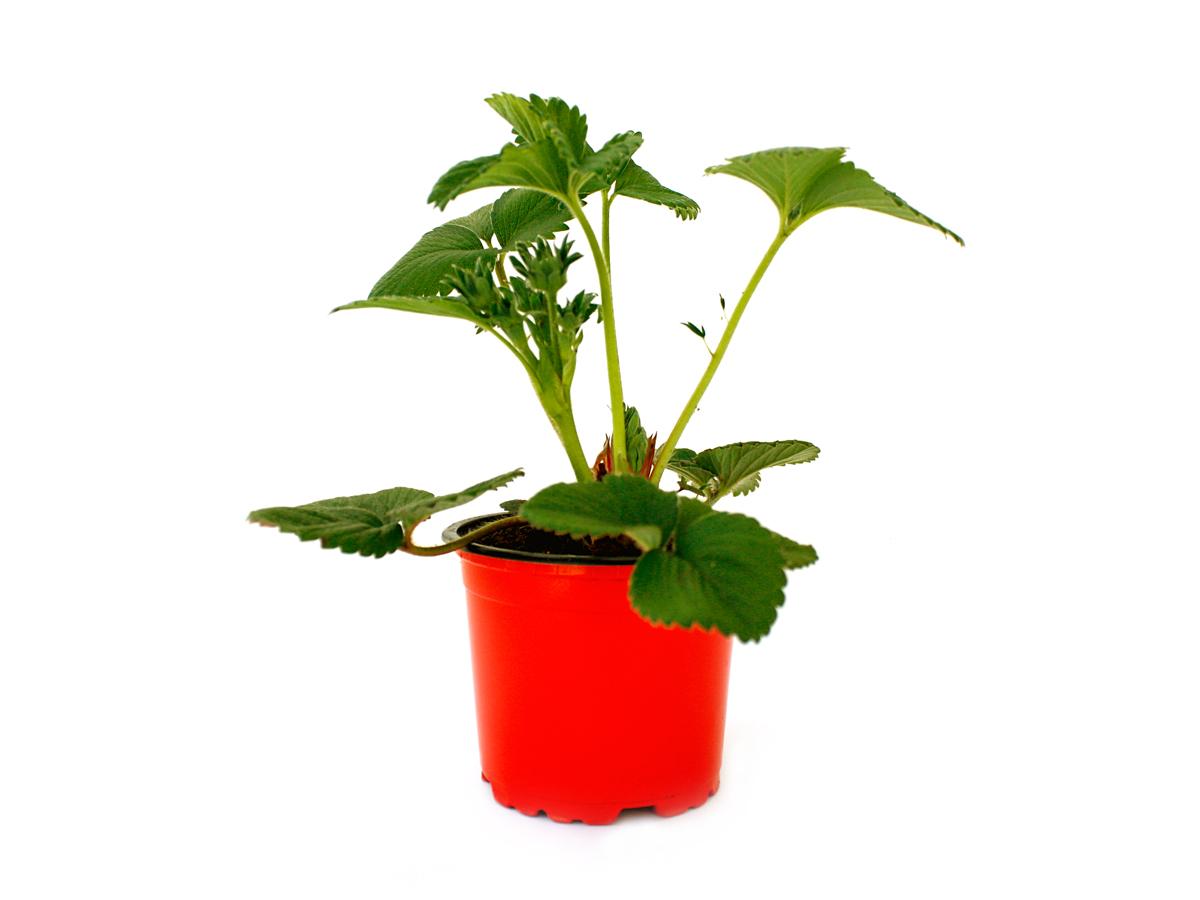 Mit diesen getopften Erdbeerpflanzen ernten Sie schon bald Ihre eigenen Erdbeeren.